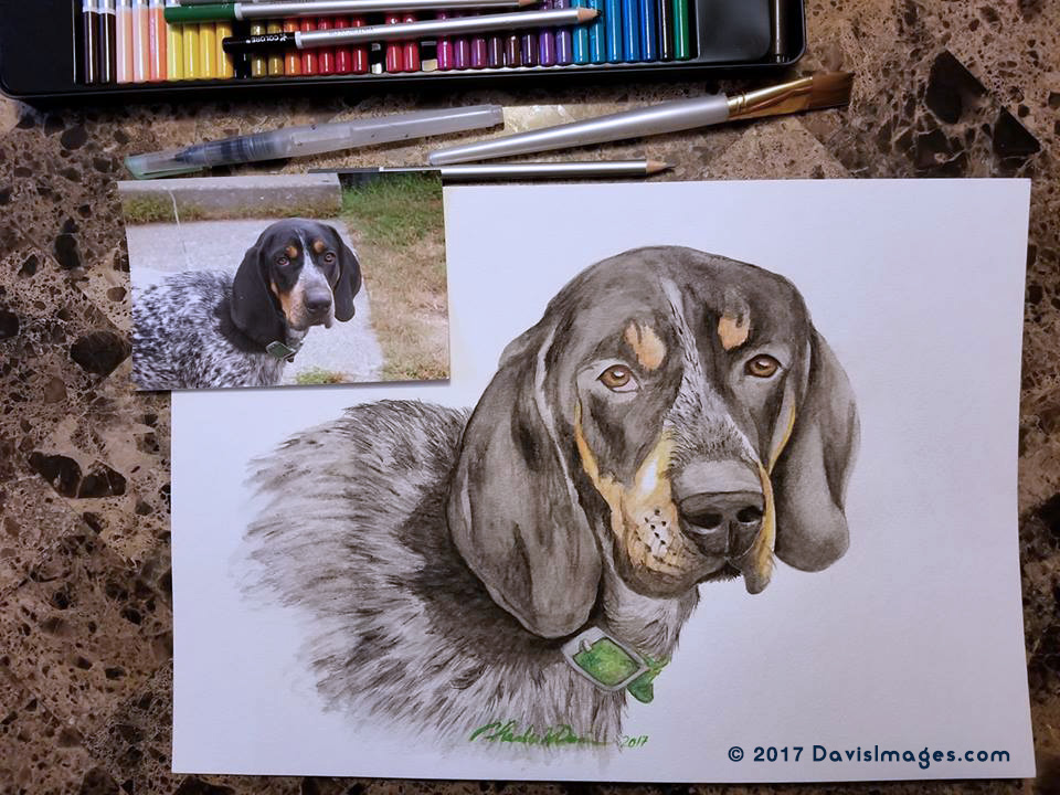 Duke - The Bluetick Coonhound Dog